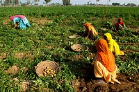 India, Haryana, harvest of potatoes