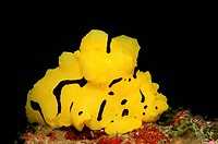 nudibranch Neon slug, Notodoris minor, Bohol Sea Pacific Ocean Panglao Island Bohol, Philippinen