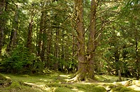 Canada, BC, Haida Gwaii Queen Charlotte Islands, Gwaii Haanas National Park. Temperate rainforest at the abandoned Haida village site, Tanu T´aanuu Ll...