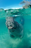 Breathing West Indian Manatee, Trichechus manatus latirostris, Florida, FL, Crystal River, USA