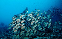 schooling Humpback snapper and Diver, Lutjanus gibbus, Indian Ocean, Meemu Atoll, Maldives