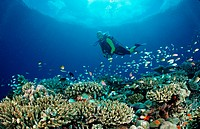 Reef with Hard Corals and Diver, Indian Ocean, Meemu Atoll, Maldives