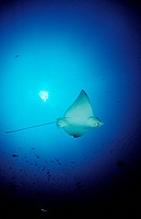 spotted Eagle Ray, Aetobatus narinari, Indian Ocean, Meemu Atoll, Maldives