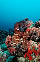 Two Indo_Pacific Day_Octopus mating, Octopus cyanea, Indian Ocean, Meemu Atoll, Maldives