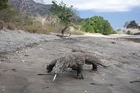 Komodo Dragon at Beach, Varanus komodoensis, Komodo, Indonesia