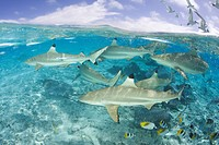 Blacktip Reef Shark and Southern Stingray, Carcharhinus melanopterus, Bora Bora, French Polynesia