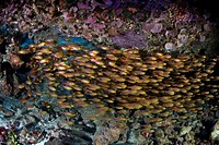 Shoal of Cardinalfish, Apogon sp., Raja Ampa, West Papua, Indonesia