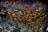 Shoal of Cardinalfish, Apogon sp., Raja Ampa, West Papua, Indonesia