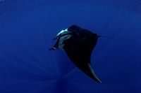 manta ray, Manta birostris, San Benedicto, Revillagigedo, Socorro Islands, East Pacific Ocean, Mexico