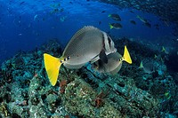 Yellowtail surgeonfish, Prionurus punctatus, Sea of Cortez, Baja California, Mexico