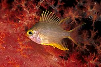 golden damselfish in soft coral, Amblyglyphidodon aureus, Micronesia, Pacific, Palau