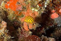 juvenile, yellow cube boxfish, Ostracion cubicus, Alona Beach, Panglao Island, Bohol, Philippines