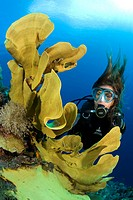 scuba diver with elephant ear sponge, Ianthella basta, Ianthella basta, Cabilao Island, Central Visayas, Philippines