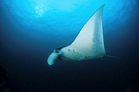 Manta, Manta birostris, Komodo National Park, Lesser Sunda Islands, Indo_Pacific, Indonesia