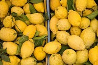 Lemons of Amalfi Coast, Massa Lubrense, Sorrentine Peninsula, Campania, Thyrrhenian Sea, Mediterranean Sea, Italy