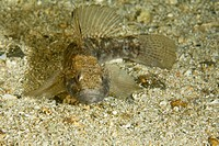 Dark Black Goby, Gobius niger, Stromsholmen, Atlantic Ocean, Norway