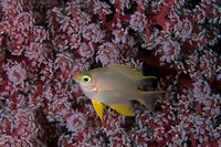 Golden Sergeant, Damsel Fish, Amblyglyphidodon aureus, Wakatobi, Celebes, Indo_Pacific, Indonesia