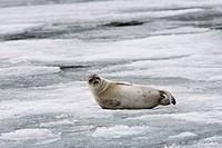 Young Ringed Seal, Phoca hispida, Spitsbergen, Svalbard Archipelago, Norway