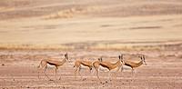 Springbuck or springbok, Sossus Vlei, Sesriem, Namib-Naukluft National Park, Namib Desert, Namibia
