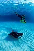 Scuba Diver meets Southern Stingray, Dasyatis americana, Caribbean, Turks and Caicos Islands