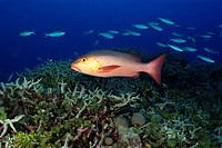 Red snapper swims over coral reef, Lutjanus Bohar, Rongelap, Pacific, Marshall Islands