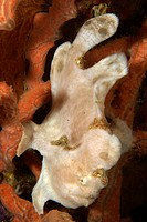 Painted Frogfish, white Phase, Antennarius pictus, Sabang Wreck, Puerto Galera, Mindoro, Philippines