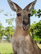 Easterm grey Kangaroo, a marsupial from the family Macropodidae macropods, meaning ´large foot´ encountered near Cairns, Australia