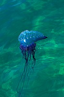 Portuguese Man Of War Jellyfish, Physalia Physalis,