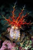 Sea Cucumber, Cucumaria, Pacific, California, USA