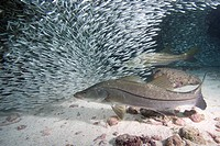 Snook feeding on Baitball, Centropomus undecimalis, Florida Keys, Florida, USA