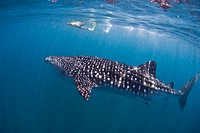 Whale Shark and Skin Diver, Rhincodon typus, South_East Africa, Indian Ocean, Mozambique