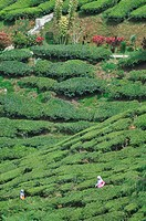 Cameron Highlands (Malaysia): Muslim family visiting a tea plantation