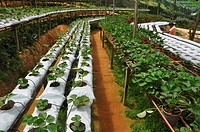 Cameron Highlands (Malaysia): a strawberries greenhouse