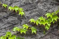 Climbing vine on a stone wall