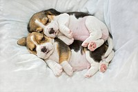 Beagle dog _ two puppies _ sleeping