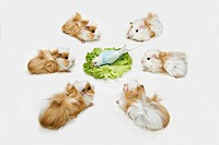 guinea pigs watching budgerigar at salad