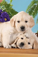 Golden Retriever dog _ two puppies smooching