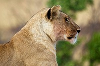A lioness looks across the plains of the Masai Mara in Kenya