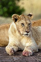 A young lion sits with his pride ontop some rocks in the Masai Mara