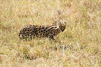 A serval cat hunts on the savannah of Kenya