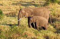 An African elephant & her calf walk to a watering hole in the Masai Mara