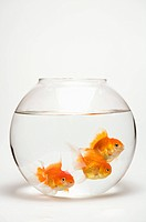 The gold fishes in a fishbowl