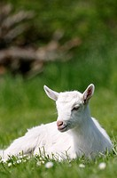White Saannen goat kid