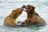 American Brown bear/Grizzly bear Ursus arctos horribilis, McNeil River Sanctuary, Alaska