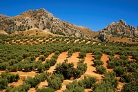 Olive trees landscape near Carcabuey, Cordoba province, Andalusia, Spain