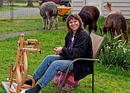 This rural lifestyle photo depicts a Caucasian woman enjoying farm life by spinning alpaca fiber into thread on a manual spinning wheel The alpacas ar...