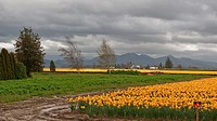 This beautiful landscape scene shows a stormy spring day with a very large daffodil field, taken at LaConner, Washington Big, gray, threatening clouds...
