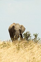 An adult African elephant grazes on brush in the Masa Mara