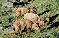 Alpine Ibex Capra ibex bulls of a herd grazing on pasture in spring  The long winter in the high mountains etiolated and weakened the animals  The cha...
