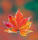 Maple leaf (thumbnail)